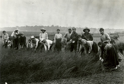 Pulling Flax for Fibre, Ontario, 1910