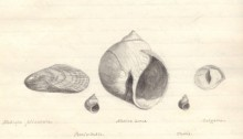 Francis Bain sketch of PEI shells, Nov 3, 1878. Source: PARO, Image No. 4.2353.92