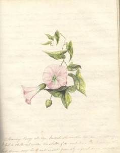 Sketch of a Morning Glory by farmer-naturalist Francis Bain,  August 29, 1879, Source: Public Archives and Records Office  of PEI, Acc. 2353/90-91