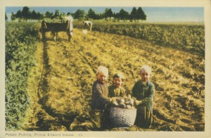 This popular image of children picking potatoes near Albany, PEI, was likely meant to promote the growing seed potato industry, and PEI agriculture in general, not child labour. Source: PEIMHF Flickr Collection. www.flickr.com/photos/pei_museum/6842769259/